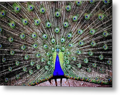 Metal Print featuring the photograph Peacock by Vivian Krug Cotton
