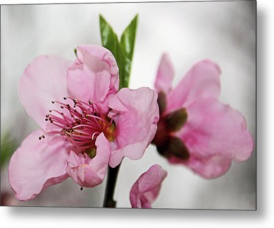 Metal Print featuring the photograph Plum Blossom by Kristin Elmquist
