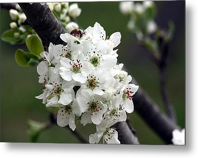 Metal Print featuring the photograph Pear Blossoms In Spring by Sheila Brown