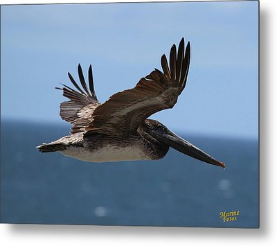 Pelican Flying Wings Up  Metal Print