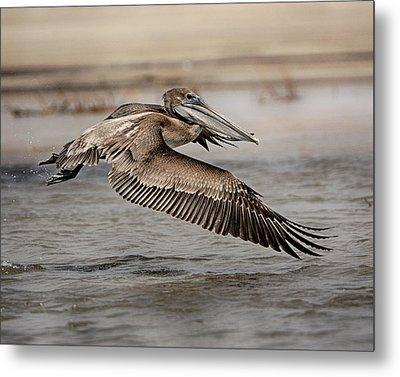 Pelican In The Air Metal Print
