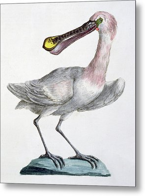 Pelican Metal Print by Italian School