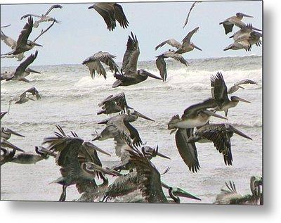 Pelican Migration  Metal Print by Pamela Patch
