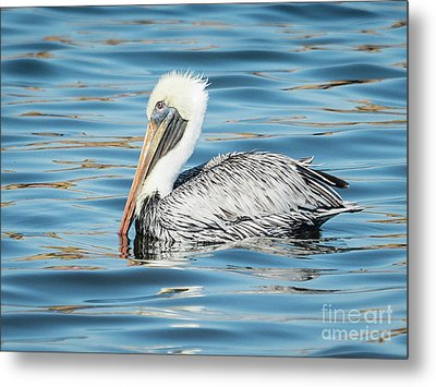 Pelican Relaxing Metal Print by Scott and Dixie Wiley