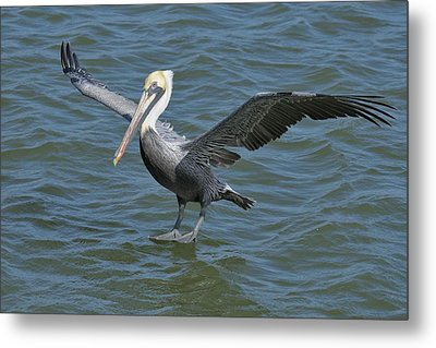 Metal Print featuring the photograph Pelican Walks On Water by Bradford Martin