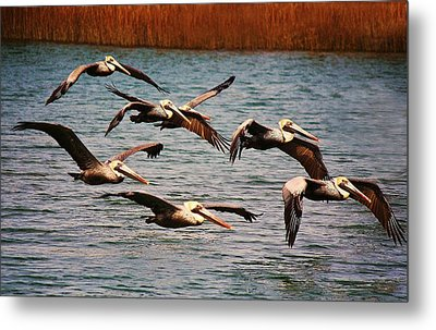Pelicans Flying Through The Marsh Metal Print by Paulette Thomas
