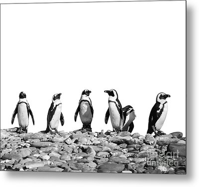 Penguins Metal Print by Delphimages Photo Creations