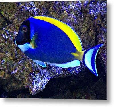 Blue Tang Fish  Metal Print