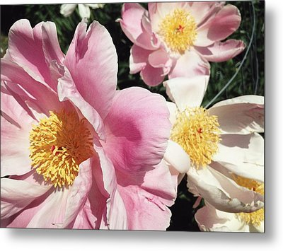 Metal Print featuring the photograph Peonies37 by Olivier Calas