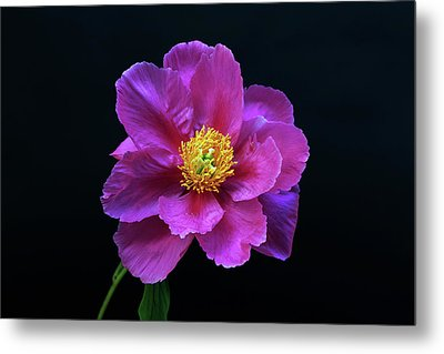 Peony - Beautiful Flowers And Decorative Foliage On The Right Is One Of The First Places Among The G Metal Print