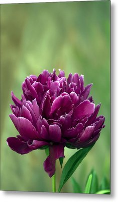 Metal Print featuring the photograph Peony In The Garden by Elsa Marie Santoro