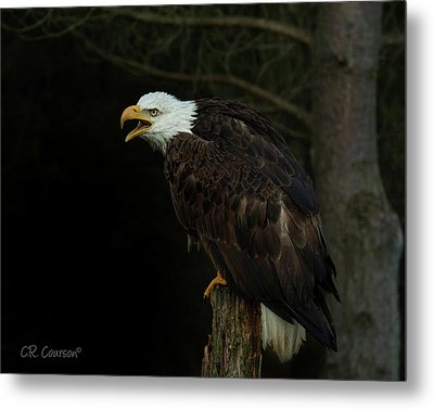 Perched Bald Eagle Metal Print by CR Courson