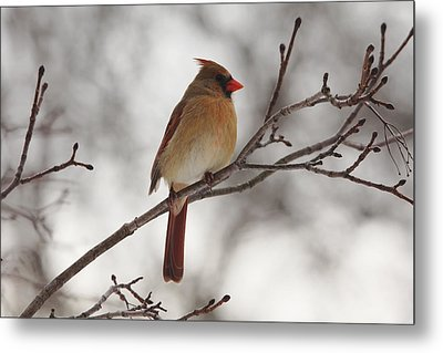 Perched Female Red Cardinal Metal Print by Debbie Oppermann