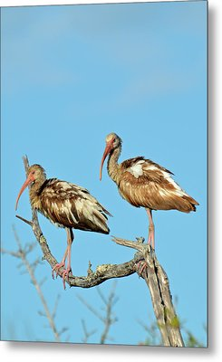 Perched White Ibises Metal Print by Bruce Gourley