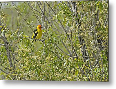 Perching Tanager Metal Print by Dennis Hammer