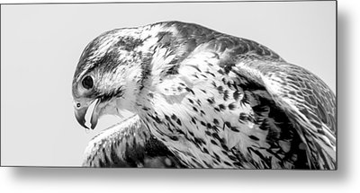Peregrine Falcon In Black And White Metal Print