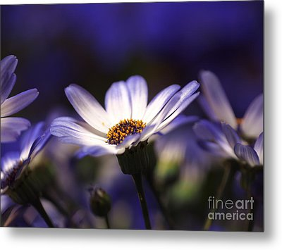 Pericallis On A Cool Spring Evening 2 Metal Print by Dorothy Lee