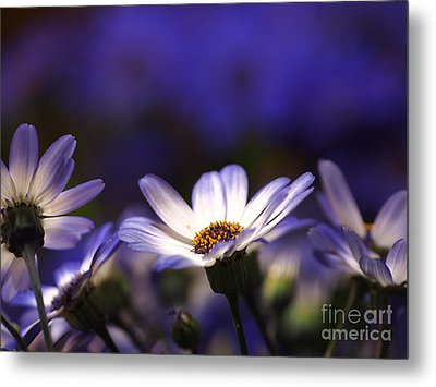 Pericallis On A Cool Spring Evening 4 Metal Print by Dorothy Lee
