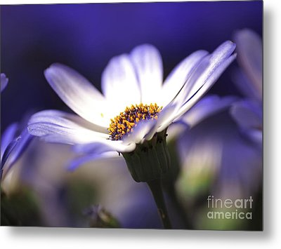 Pericallis On A Cool Spring Evening Metal Print by Dorothy Lee
