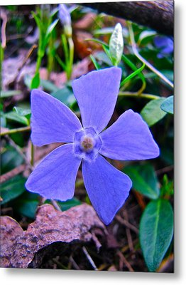 Metal Print featuring the photograph Periwinkle Flower by Lori Miller