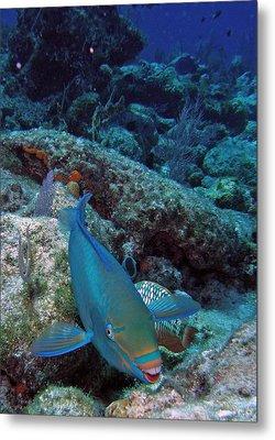 Perky Parrotfish Metal Print by Kimberly Mohlenhoff