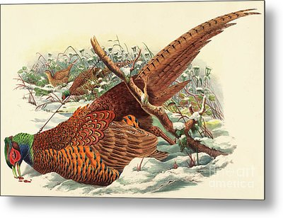Phasianus Colchicus, Ring Necked Pheasant Metal Print by John Gould