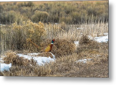 Pheasant Glory Metal Print by Yeates Photography