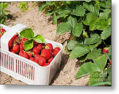 Picked Ripe Strawberries Bunch Metal Print by Arletta Cwalina