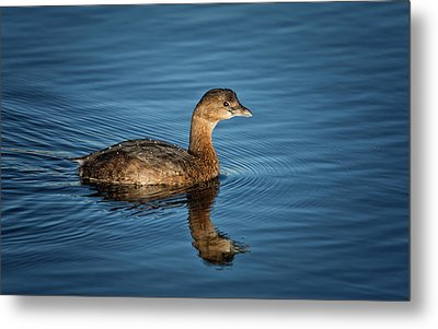 Metal Print featuring the photograph Pied Billed Grebe by Randy Hall
