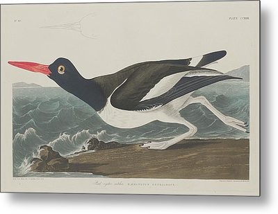 Pied Oyster-catcher Metal Print