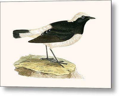 Pied Wheatear Metal Print by English School
