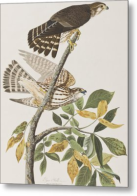 Pigeon Hawk Metal Print by John James Audubon