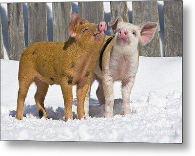 Piglets Playing In Snow Metal Print by Jean-Louis Klein & Marie-Luce Hubert
