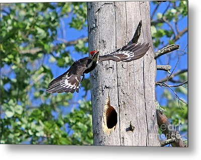 Pileated #27 Metal Print by James F Towne