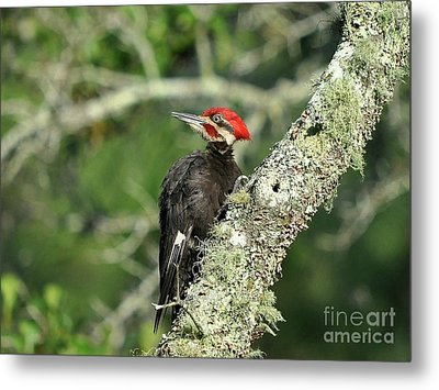 Pileated Perch Metal Print by Al Powell Photography USA