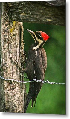 Metal Print featuring the photograph Pileated Woodpecker by Jessica Brawley