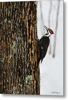 Metal Print featuring the photograph Pileated Woodpecker by Skip Tribby
