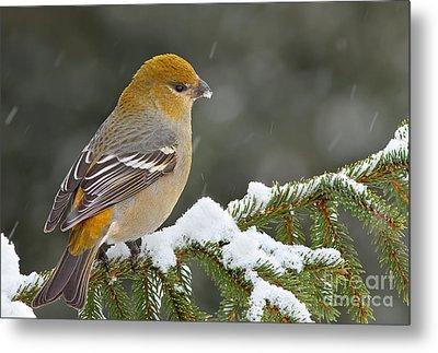Pine Grosbeak-female In The Winter Storm Metal Print by Mircea Costina Photography