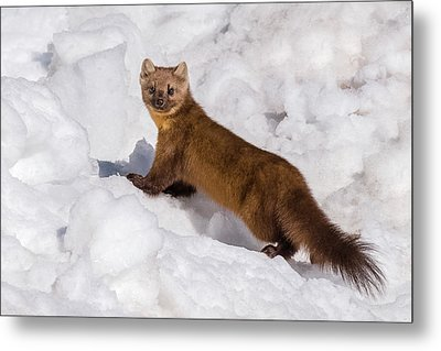 Pine Marten In Snow Metal Print by Yeates Photography