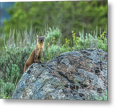 Metal Print featuring the photograph Pine Marten With Attitude by Yeates Photography
