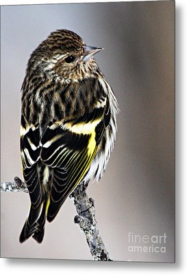 Pine Siskin Metal Print by Larry Ricker