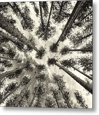 Pine Tree Vertigo - Square Sepia Metal Print by Adam Pender