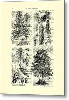 Pine Trees Study Black And White  Metal Print