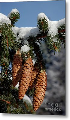 Pinecones Hanging From A Snow-covered Fir Tree Branch Metal Print by Sami Sarkis