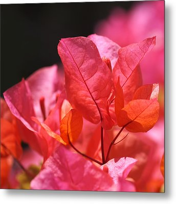 Pink And Orange Bougainvillea - Square Metal Print by Rona Black
