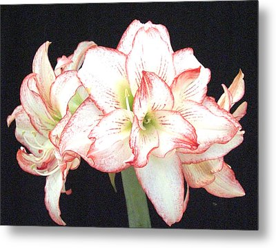 Pink And White Amaryllis Group Metal Print by Frederic Kohli