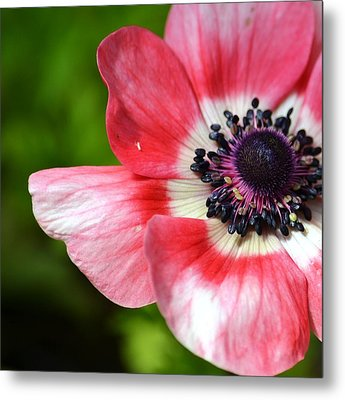 Pink Anemone Flower Metal Print by P S