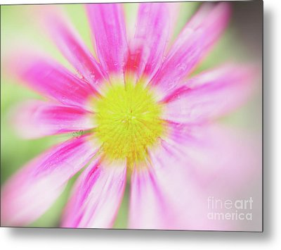 Pink Aster Flower With Raindrops Abstract Metal Print by Nick Biemans