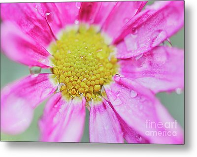 Pink Aster Flower With Raindrops Metal Print by Nick Biemans