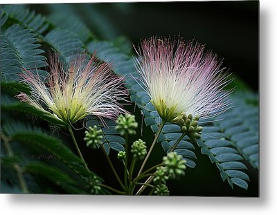 Pink Mimosa  Metal Print by Yvonne Wright